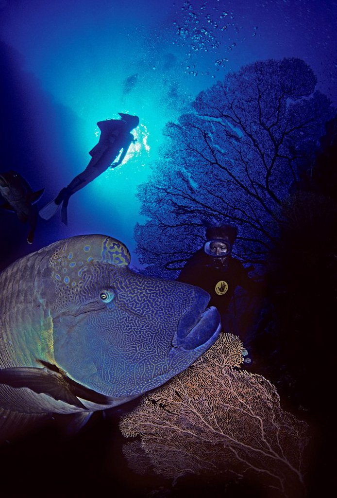 The Red Sea, The humphead or Napoleon wrasse Cheilinus undulatus is one of the largest reef fishes in the world and is the largest member of the wrasse family : Stock Photo