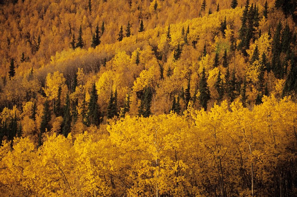 Stock Photo: 1760-9018 Alaska, Alaska Range, Birch and Aspen fall colors on hillside.