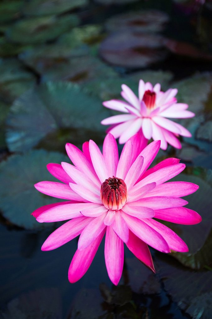 Hawaii, Oahu, Kualoa Ranch, Pink water lilies. : Stock Photo