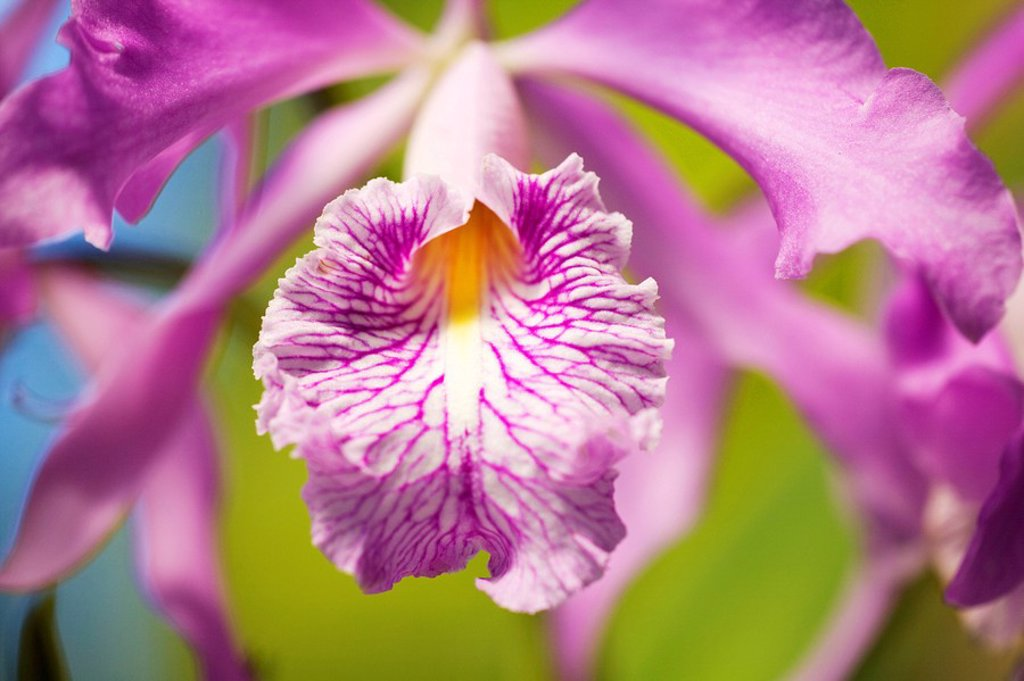 Stock Photo: 1760-9399 Hawaii, Maui, Vibrant pink orchid.