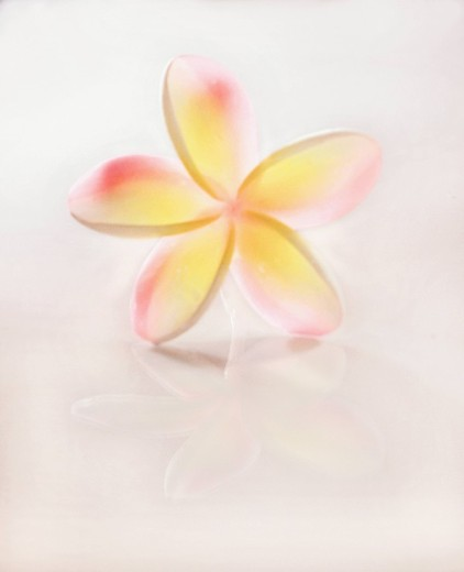 Hawaii, Close_up of Plumeria Blossom. : Stock Photo