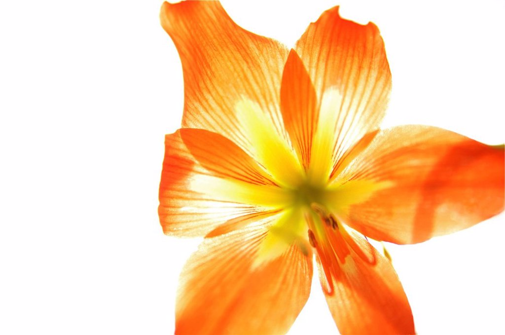Hawaii, Kauai, Tiger Lily. : Stock Photo
