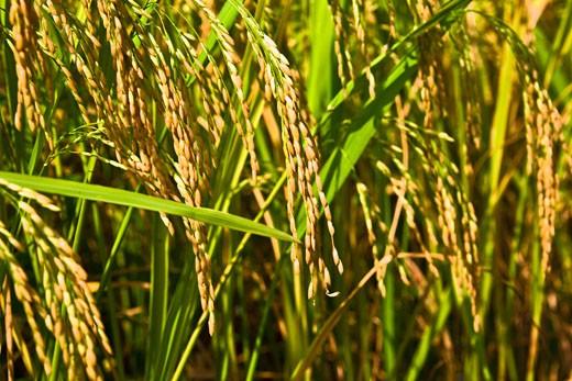 Stock Photo: 1768R-11502 Rice crop in a field, XingPing, Yangshuo, Guangxi Province, China