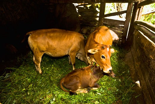 Cows and calf in a barn, Jinkeng Terraced Field, Guangxi Province, China : Stock Photo
