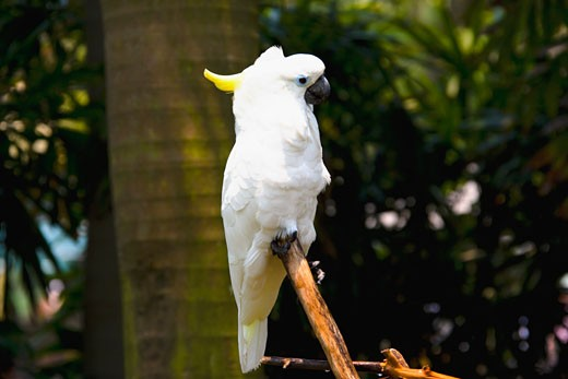 Close-up of a Sulphur-crested Cockatoo (Cacatua galerita) perching on a wooden post, Xiangjiang Safari Park, Guangzhou, Guangdong Province, China : Stock Photo