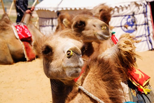 Close-up of Bactrian camels (Camelus bactrianus), Kubuqi Desert, Inner Mongolia, China : Stock Photo
