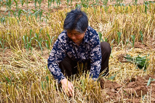 Stock Photo: 1768R-14142 Mature woman working in a field, Zhigou, Shandong Province, China