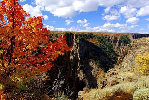 Autumn trees at a canyon, Black Canyon Of The Gunnison National Park, Gunnison River, Colorado, USA : Stock Photo
