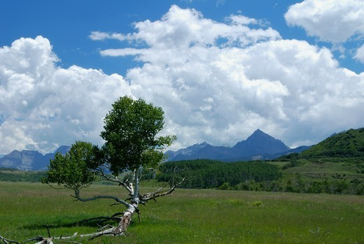Aspen tree in a field with mountains in the background, San Juan Mountains, Colorado, USA : Stock Photo