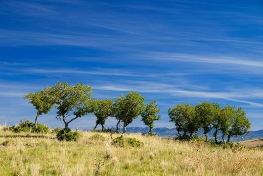 Stock Photo: 1772-325 Trees in a field, Dallas Divide, Colorado, USA