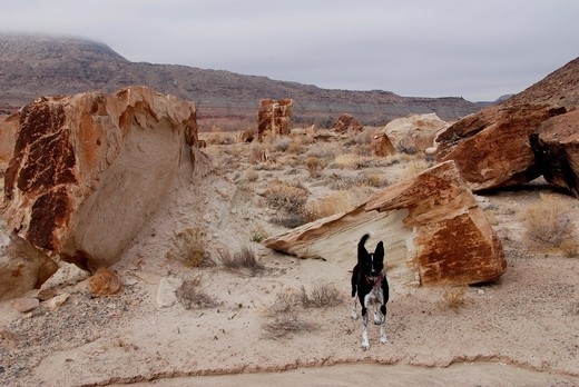 USA, Colorado, Dominquez Canyon, dog in desert : Stock Photo
