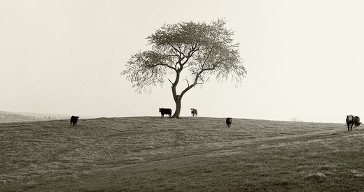 Stock Photo: 1772-611 Cows grazing in the field, Shenandoah Valley, Appalachian Mountains, Virginia, USA