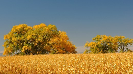 USA, Colorado, Corn field and Cottonwood trees in Fall colors : Stock Photo