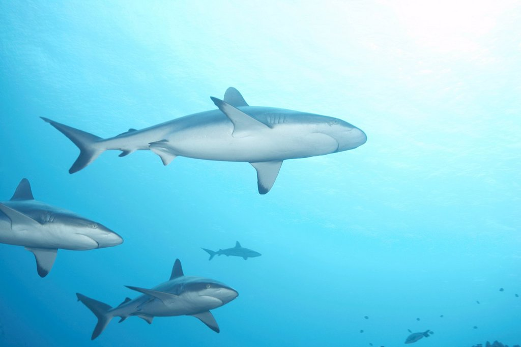 Stock Photo: 1773-57993 White tip reef shark swimming in ocean