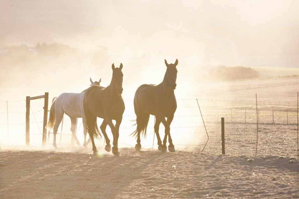 Horses running in dusty pen : Stock Photo