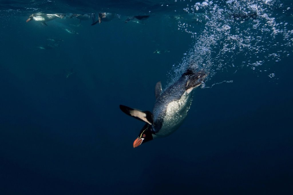 Snares Crested Penguin Eudyptes robustus : Stock Photo