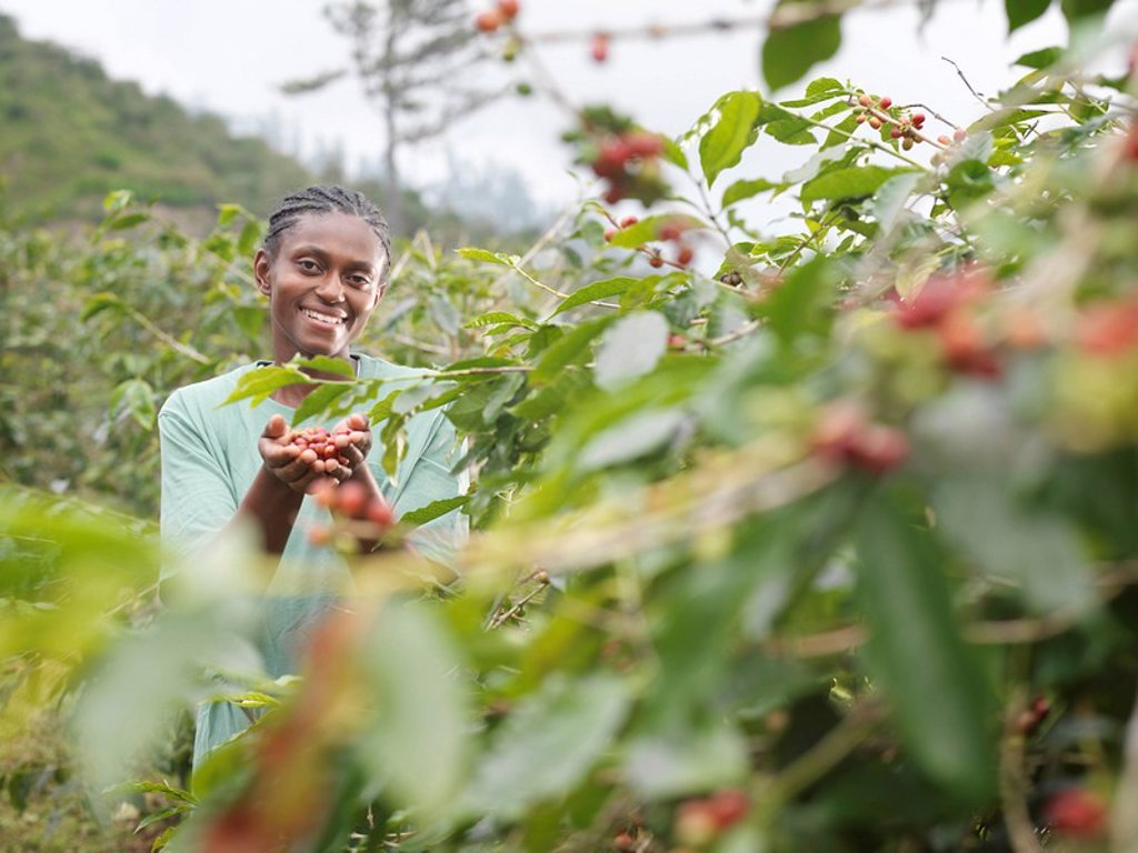 Worker With Coffee Beans In Plantation : Stock Photo