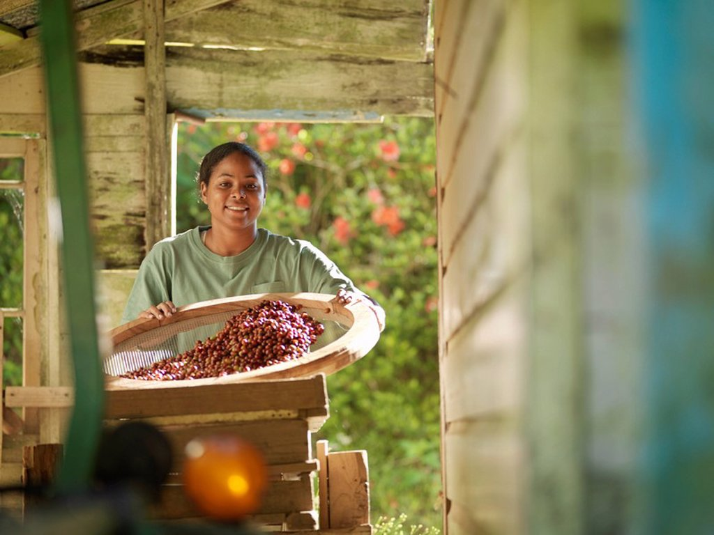 Female Worker Processing Coffee Beans : Stock Photo