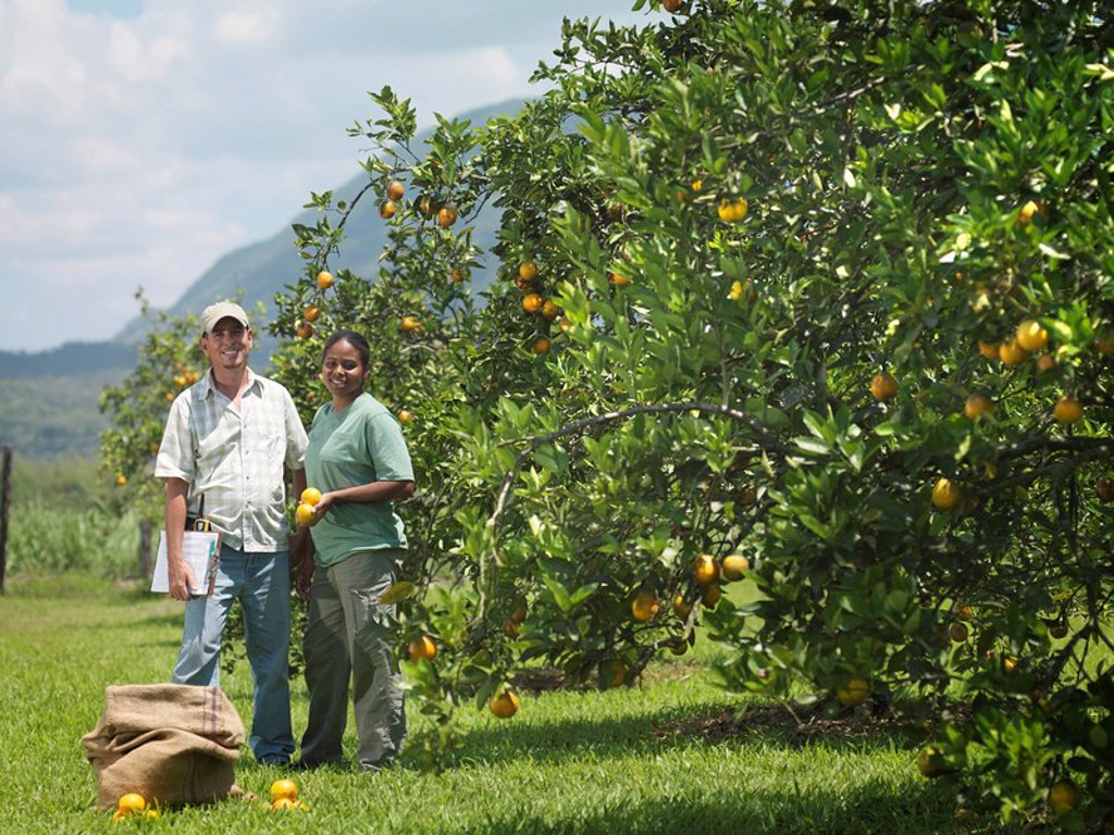Workers In Orange Grove : Stock Photo