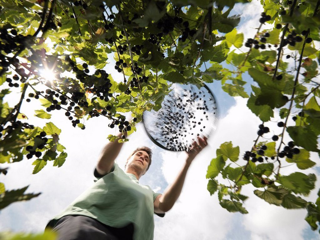 Man Harvesting Blackcurrants : Stock Photo