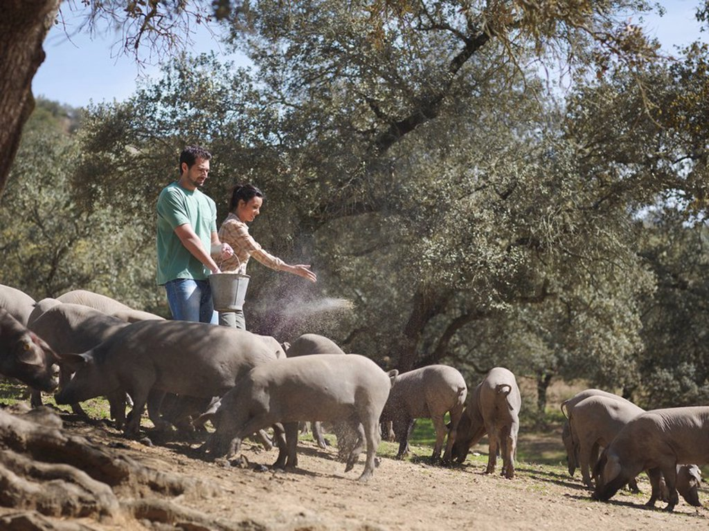 Stock Photo: 1773R-126683 Man and woman on farm feeding pigs