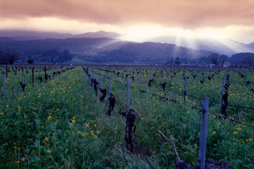 Sunset over a vineyard, Napa County, Oakville, California, USA : Stock Photo