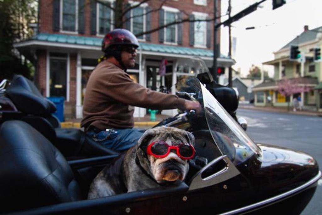 Dog in a sidecar wearing goggles, New Hope, Bucks County, Pennsylvania, USA : Stock Photo