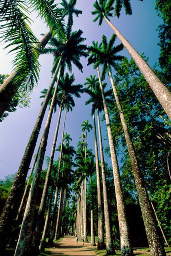 Brazil, Rio de Janeiro, Jardim Botanical Garden, Walking Path with Palm Trees : Stock Photo