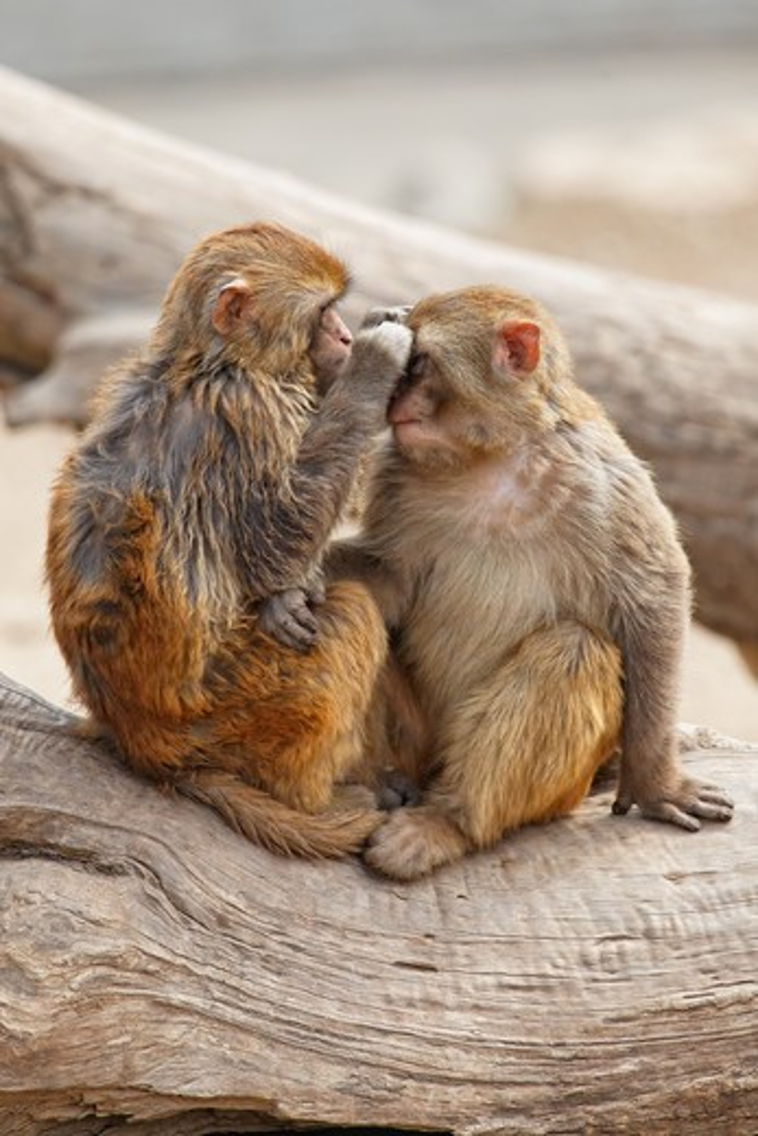 China, Shaanxi, Xian, Quingling Mountain Zoo, Two Rhesus Monkeys interacting on branch : Stock Photo