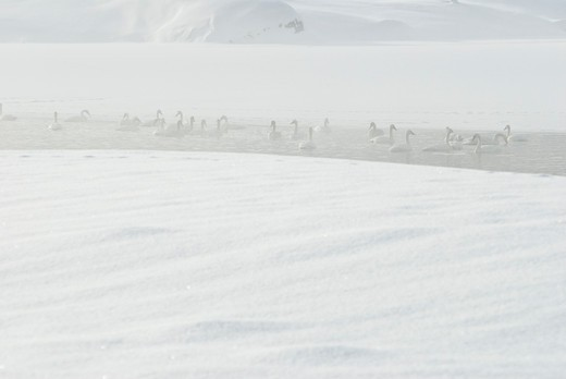 Trumpeter swans in snow : Stock Photo