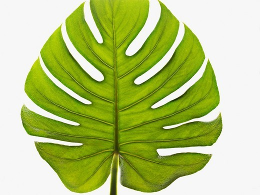 Close up of green palm leaf : Stock Photo