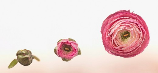 Sequence of pink ranunculus blooming : Stock Photo