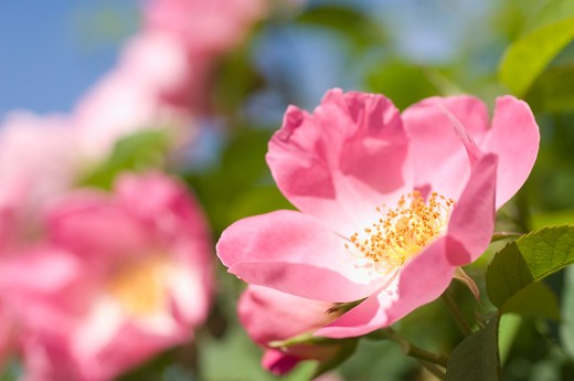 Stock Photo: 1775R-23902 Close up of blooming pink flower
