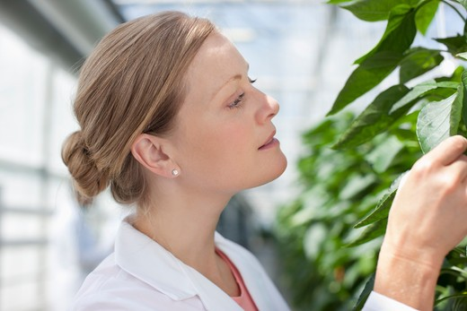 Stock Photo: 1775R-25889 Scientist examining plants in greenhouse