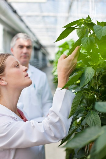 Scientist examining plants in greenhouse : Stock Photo
