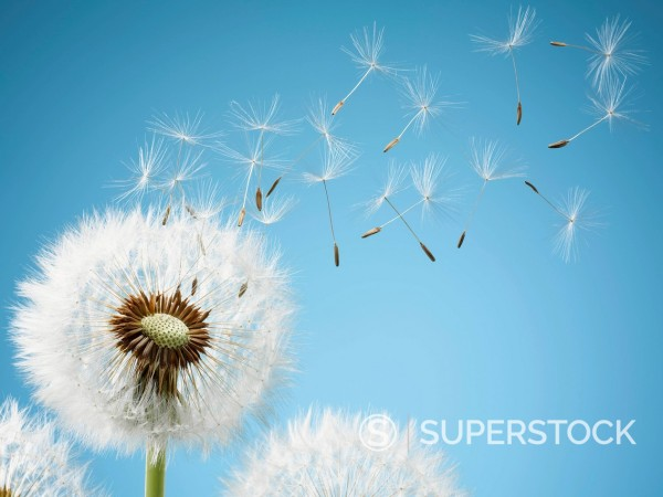 Stock Photo: 1775R-26176 Close up of dandelion spores blowing away