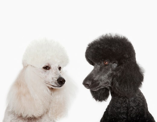 Poodles examining each other : Stock Photo