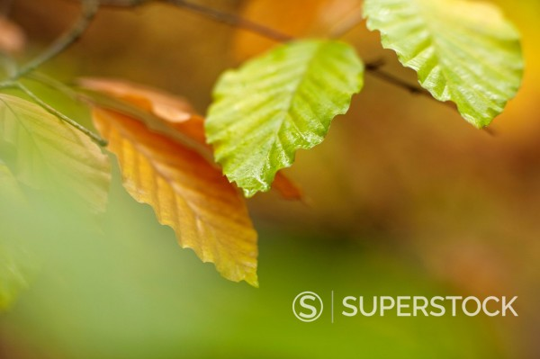 Close up of autumn leaves on branch : Stock Photo