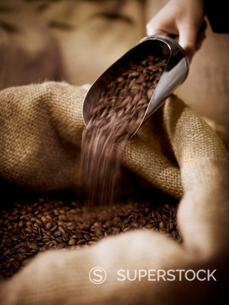 Hand scooping coffee beans in burlap sack : Stock Photo