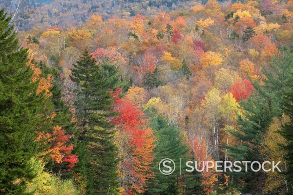 Autumn leaves on trees in forest : Stock Photo