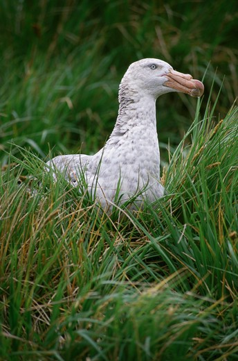 Stock Photo: 1778-10965 A Southern Giant petrel in tall grass