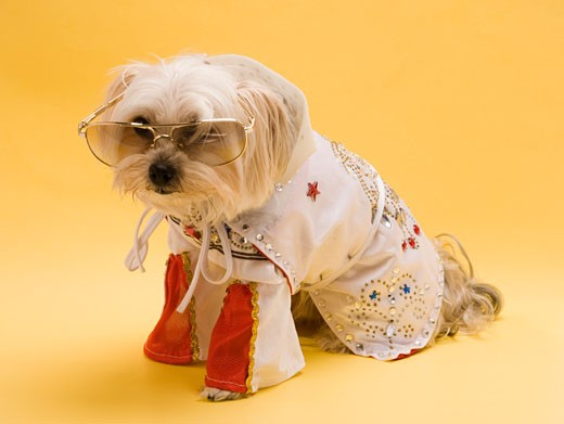 Small dog wearing costume : Stock Photo