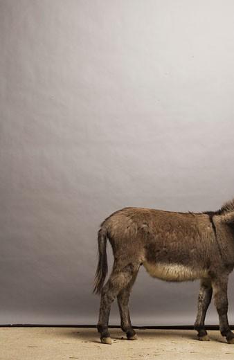 Back half of donkey : Stock Photo