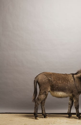 Stock Photo: 1779R-5715 Back half of donkey