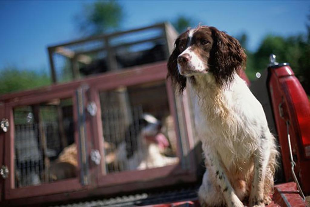 Stock Photo: 1779R-6416 Dog sitting near crates
