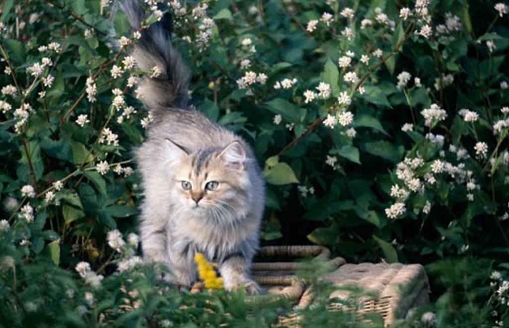Stock Photo: 178-430 Persian Cat walking in garden