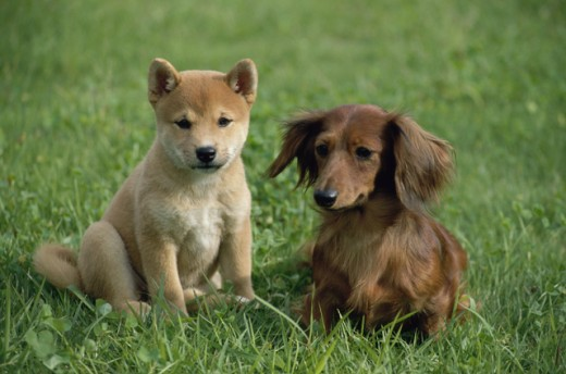 Stock Photo: 178-644 Close-up of two puppies sitting on the grass