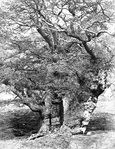 Chatsworth House, Park, Oak Study c1864 : Stock Photo