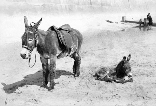 Bridlington, Donkey and Foal 1906 : Stock Photo