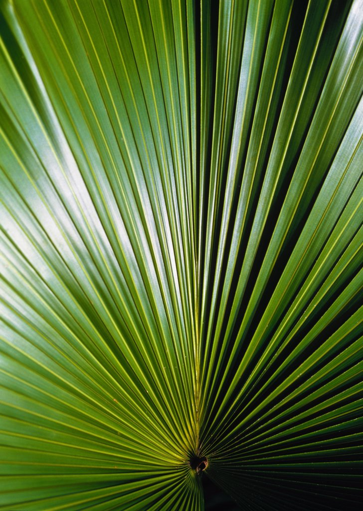 Stock Photo: 1783-10222 Detail of a palm leaf in the Amazon Rainforest., Amazon Rainforest, Brazil.